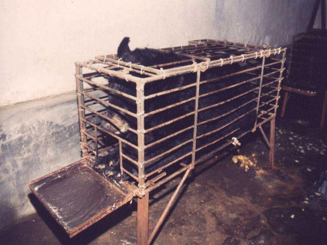 The absurdity of human brutality: The plight of the moon bear AELLA